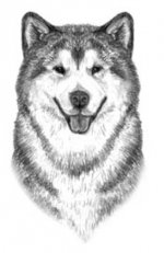 The correct head, ears placemant and eyes of alaskan malamutes