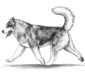Correct movements of alaskan malamute