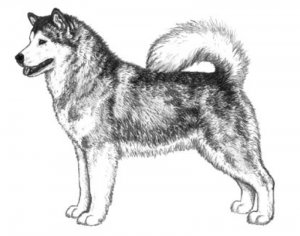 Correct appearance of alaskan malamute (side-drawn)