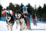 Alaskan Malamute Nanuk - Championship of sledding / Germany