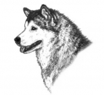 Correct head and muzzle of alaskan malamute