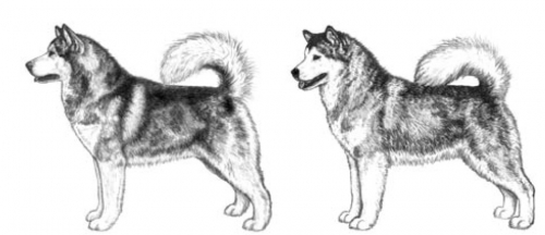 Male and Female types of alaskan malamute